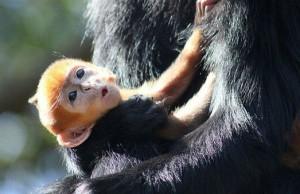 rare orange monkey 6