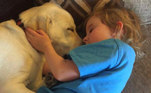 Hero Labrador Saves life 4