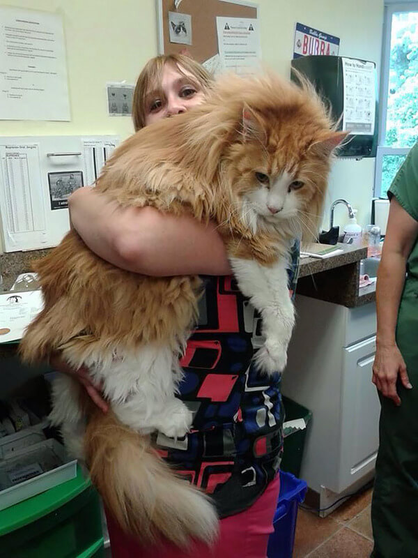 Maine Coon Cats photos 7