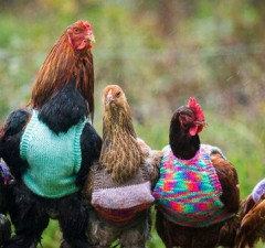 sweaters for chickens 1