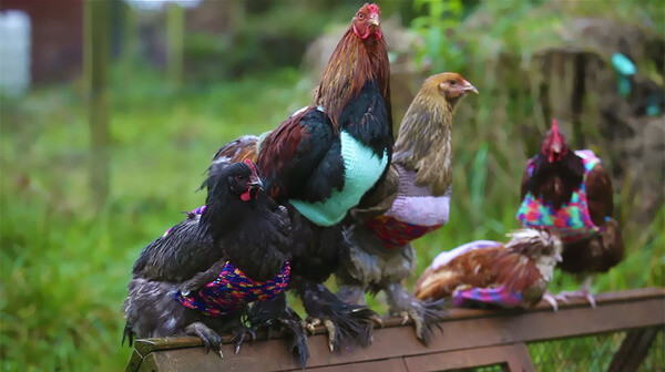 sweaters for chickens 3