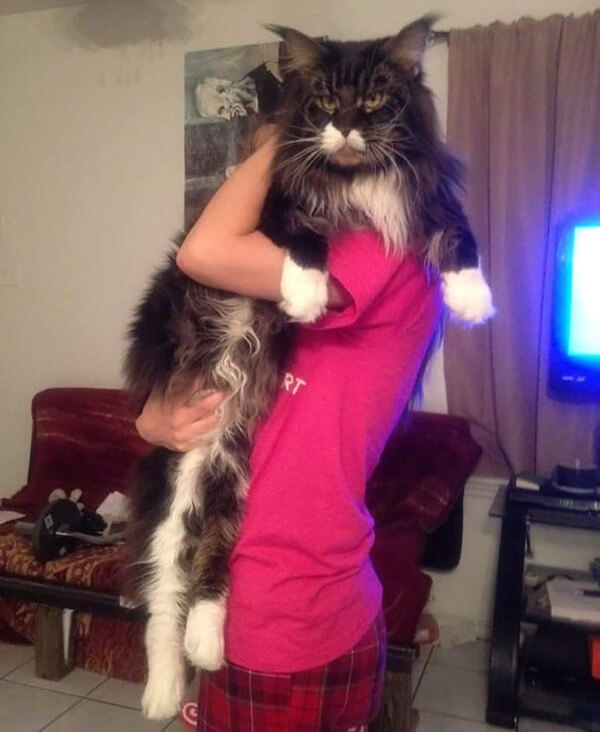 Maine Coon Cats photos 9