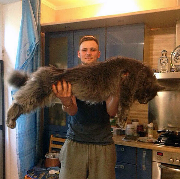Maine Coon Cats photos 16