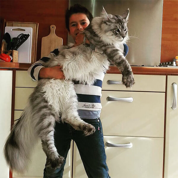 Maine Coon Cat photos 3
