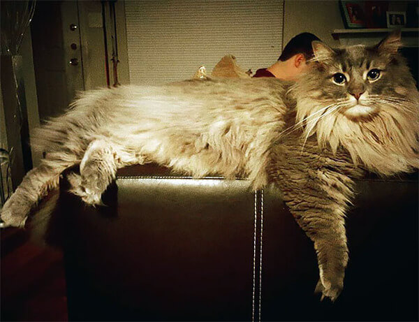 Maine Coon Cat photos 10