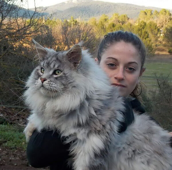 Maine Coon Cats photos 6