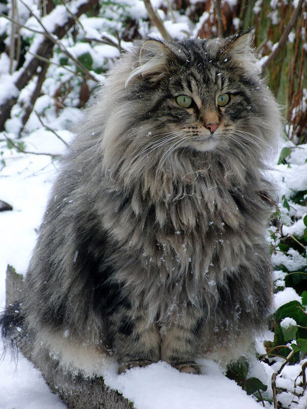 Maine Coon Cats photos 2