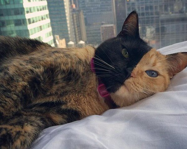 Venus The Two Faced Cat 11