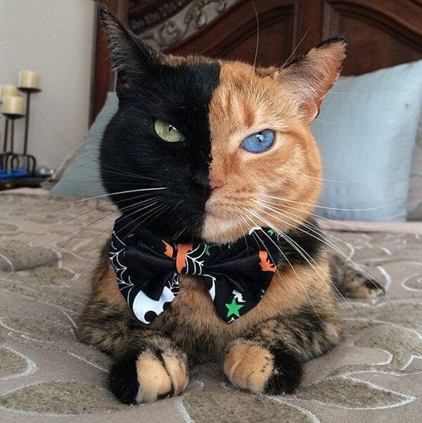 two face cat 7