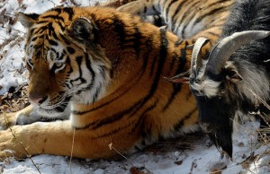 tiger and goat 1