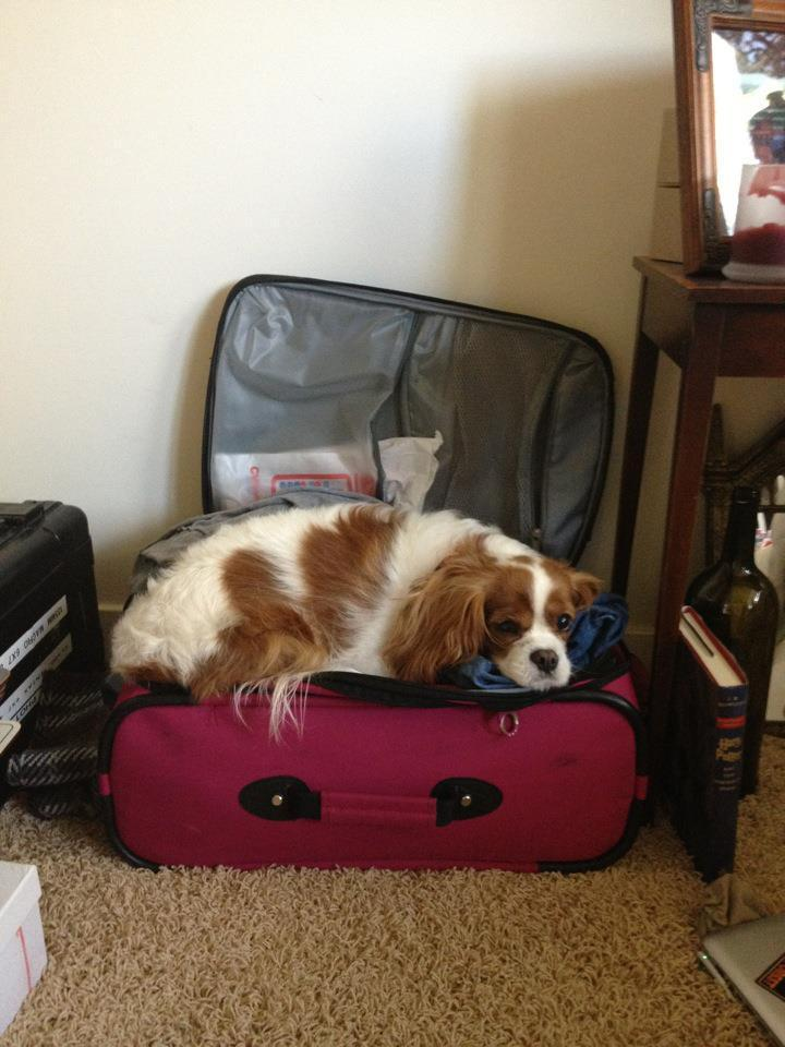 pets sitting in suitcase