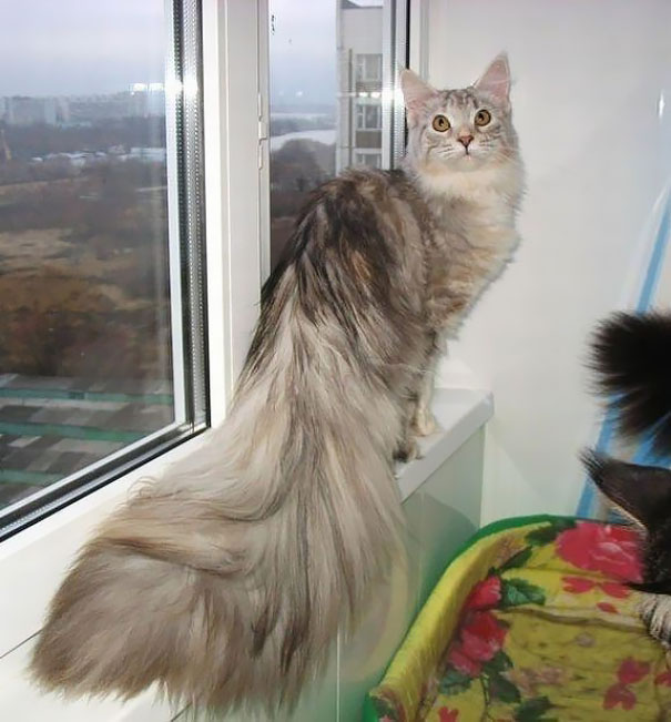 maine coon cats 16