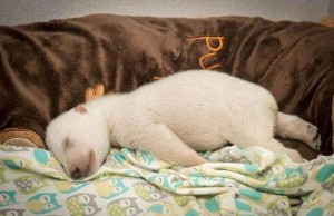 Polar bear rescued 1