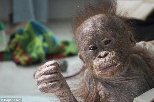 rescued baby orangutans 12