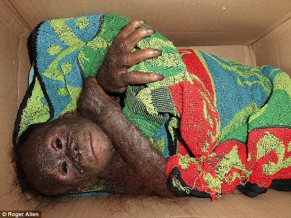 rescued baby orangutans 11