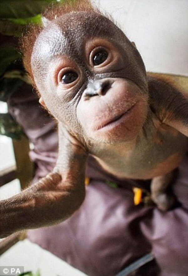 rescued baby orangutan 8