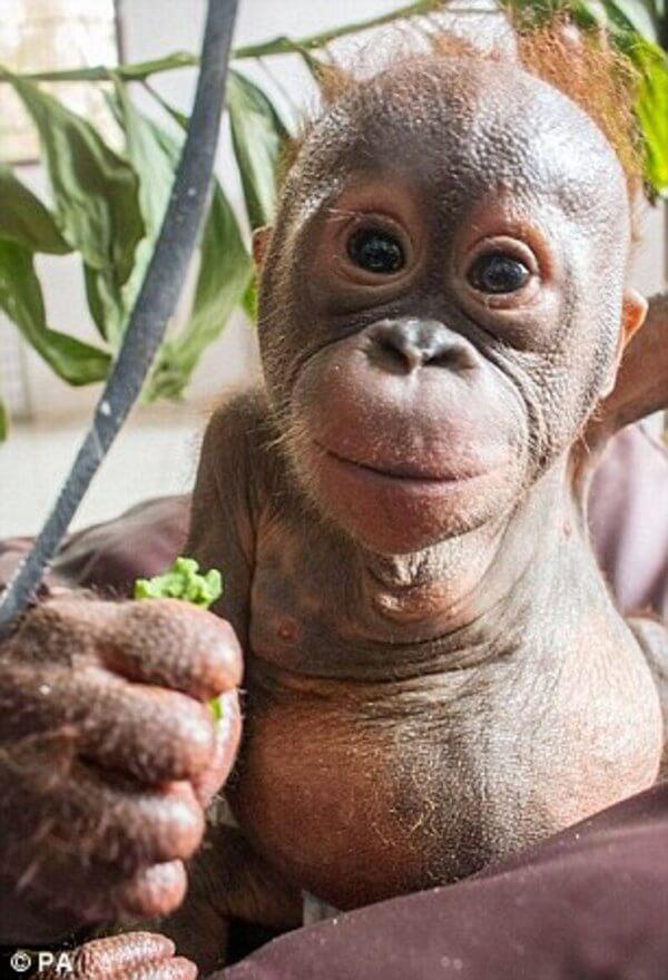 rescued baby orangutan 5