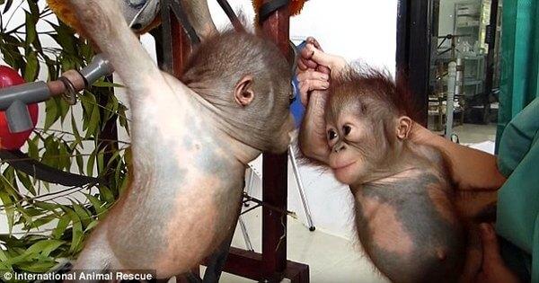rescued baby orangutans 1