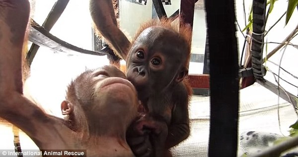rescued baby orangutan 3