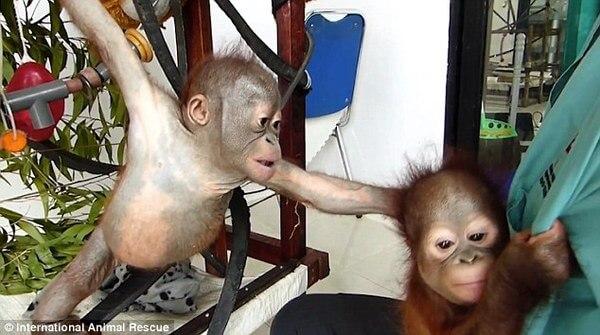 rescued baby orangutans 2