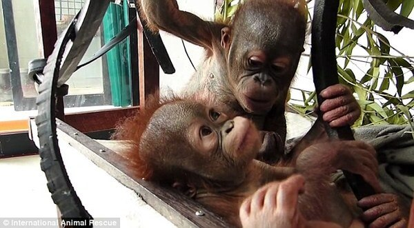 rescued baby orangutan 4