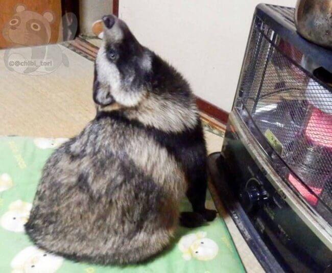 racoon dog 6