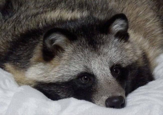 racoon dog 7
