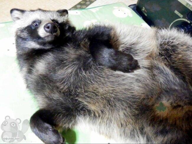 raccoon dog 10