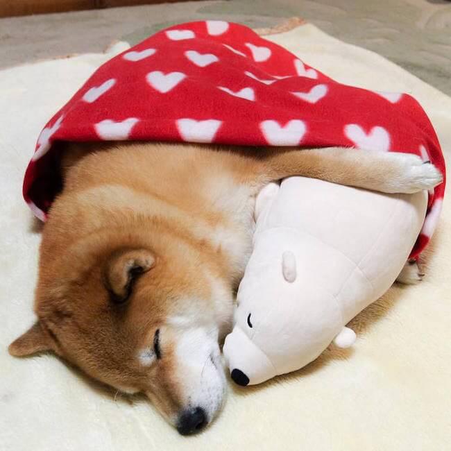 Adorable Shiba Inu 7