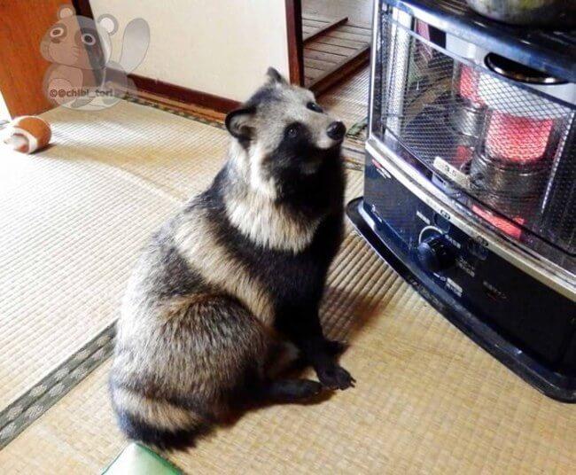 raccoon dog 9
