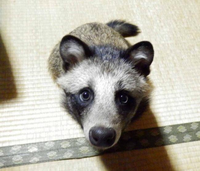 racoon dog 4