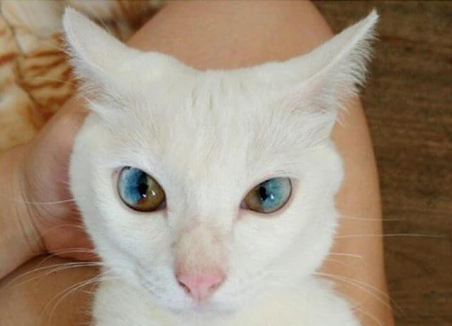heterochromiacat1