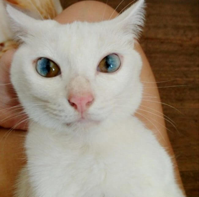 Are Different Eye Color Cats Magical