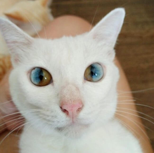 Two Different Eye Cat