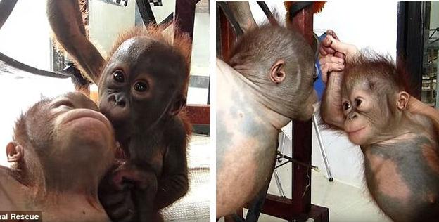 orangutan meet feat