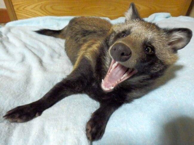 raccoon dog 2