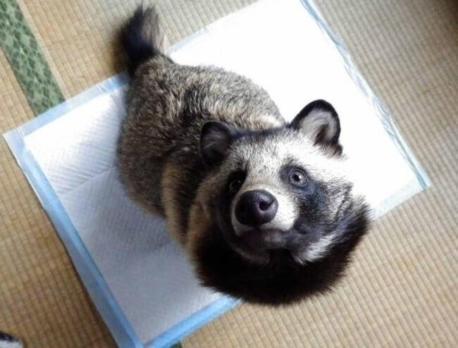 racoon dog 1