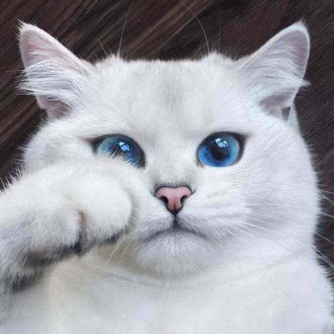 blue eyed cats 4