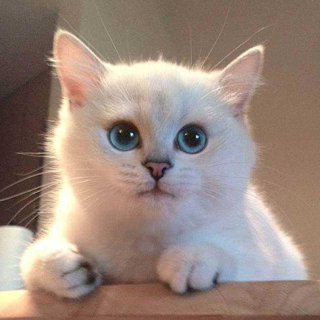 blue eyed cat 2