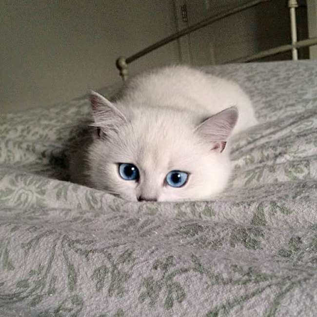 blue eyed cat 3