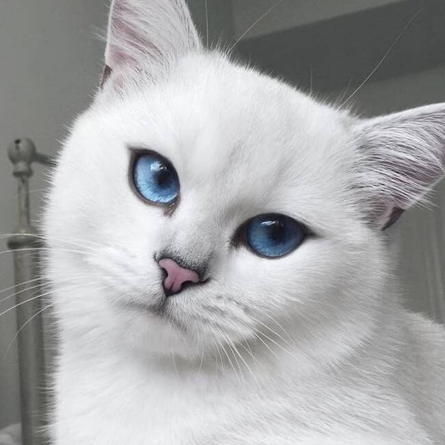 blue eyed cat 1