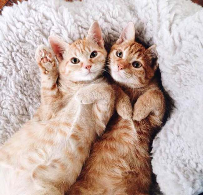 Two Ginger cat 6