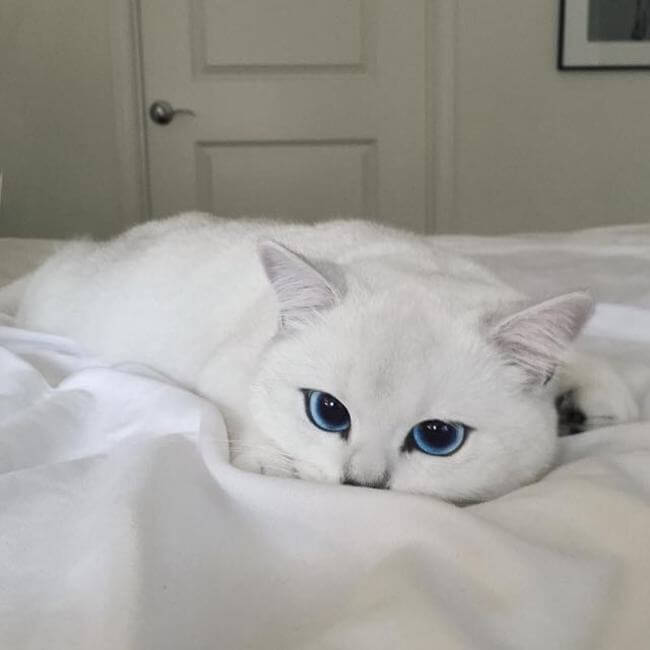 blue eyed cats 7