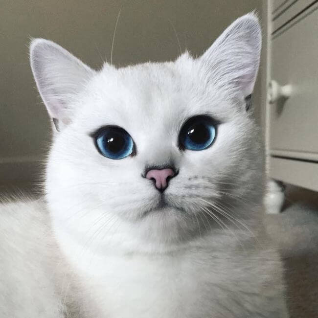 blue eyed cat 9