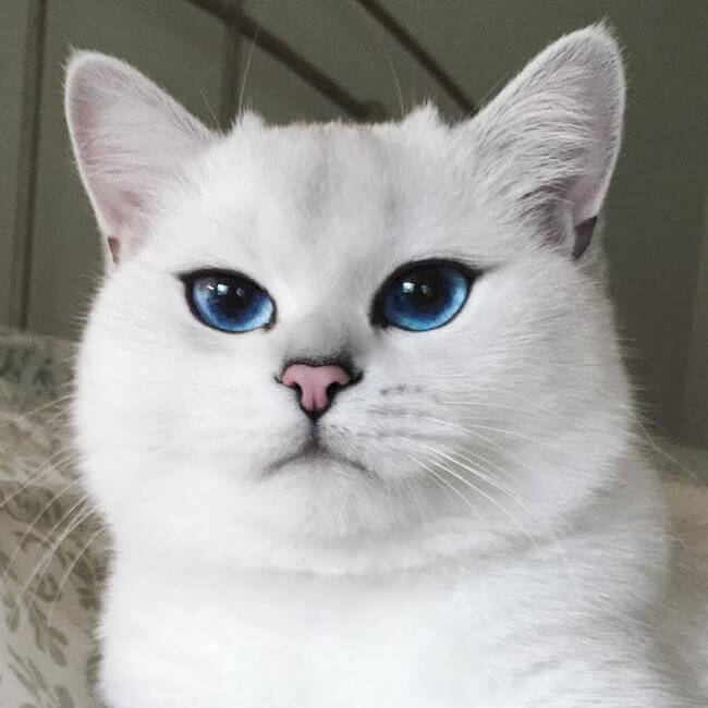 blue eyed cats 6