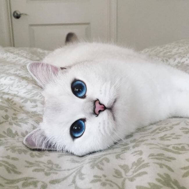 blue eyed cat 8
