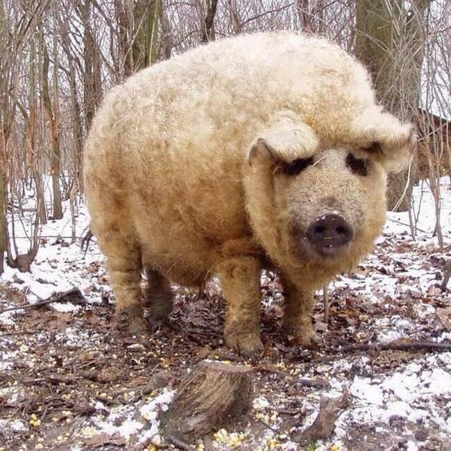 fuzzy pigs 1