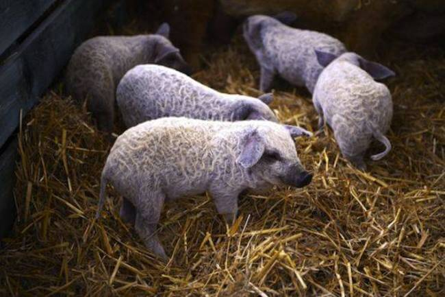 These Cute Fuzzy Pigs Look Like Sheep And Act Like Dogs
