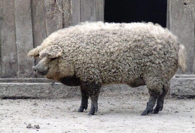 fuzzy pig 7
