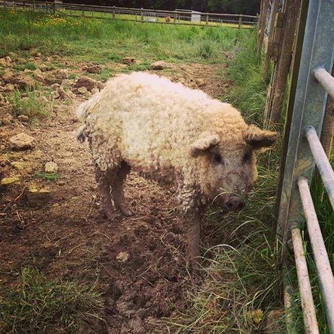 fuzzy pig 8